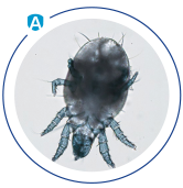 house dust mites allergens